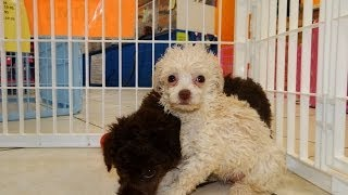 Toy Poodle, Puppies, For, Sale, In, Bridgeport, Connecticut, Ct, Newington, Manchester, Naugatuck, T