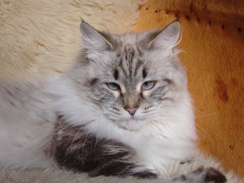 Gorgeous  Bobtail cat sweet girl