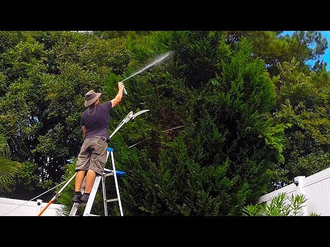 leyland-cypress-tree-trim-turns-into-complete-removal