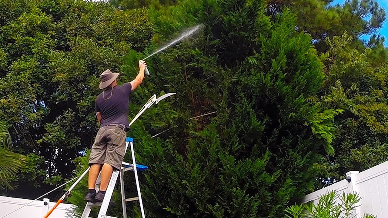 Leyland Cypress Tree Trim Turns Into Complete Removal