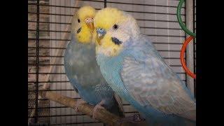 Гречка волнистым попугайчикам.