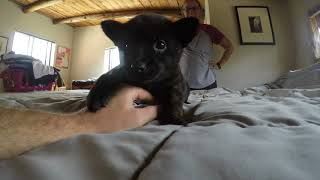 """This is a video of Kai Ken (甲斐犬) """"Kai,"""" a female puppy from our ..."""
