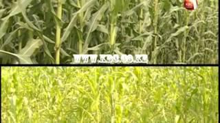 Farm Talk : Large Scale Maize Farming - 1st episode
