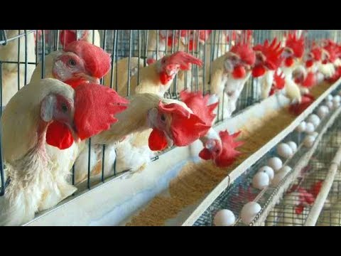 Intelligent Technology Modern Poultry Farms Сleansing and Hygiene Products For Farm