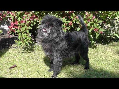 Dog Breed Video: Affenpinscher