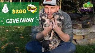 WIN $200's Towards a French Bulldog /  Frenchton Puppy - Giveaway