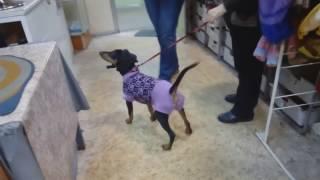 Вязанный свитер для щенка пинчера