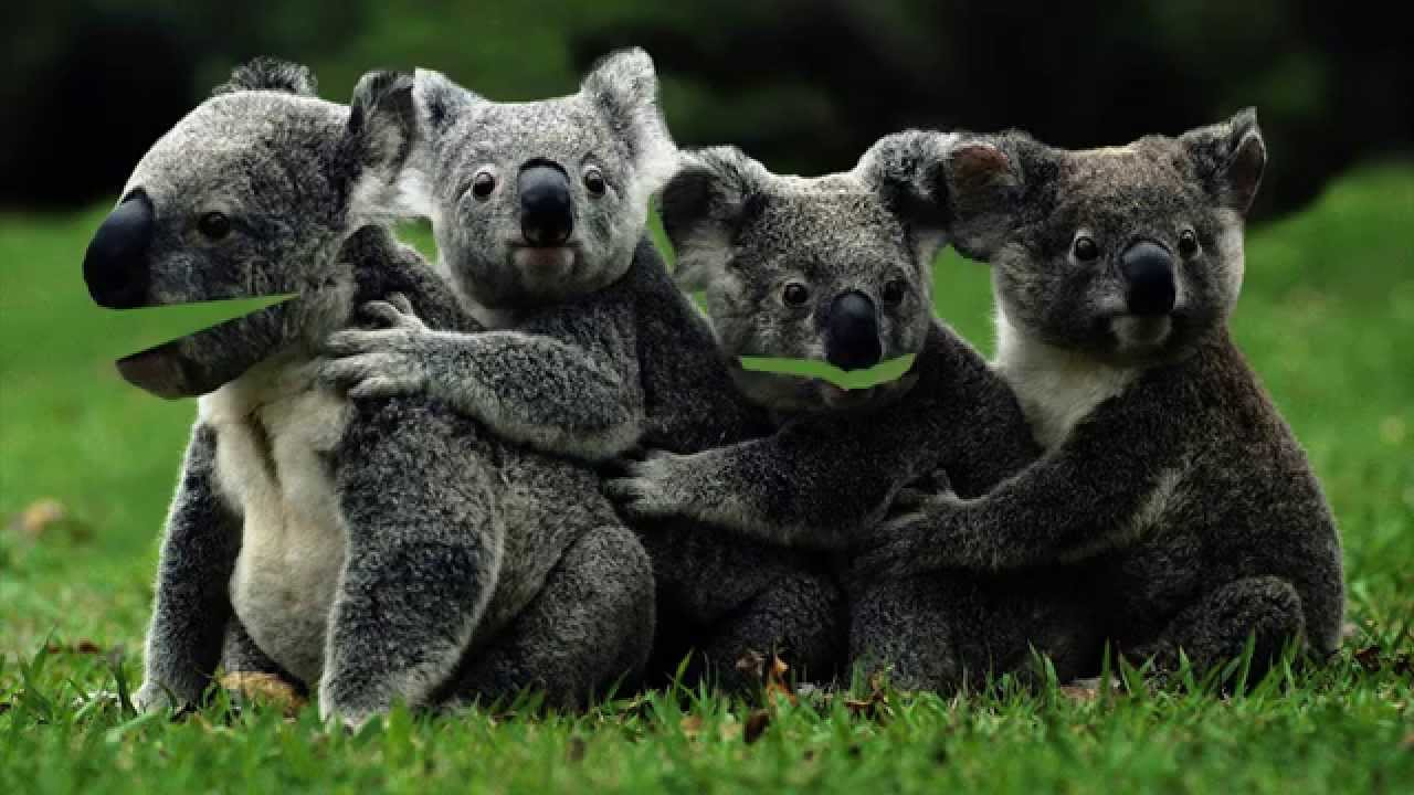 KOALA sings Happy Birthday  YouTube