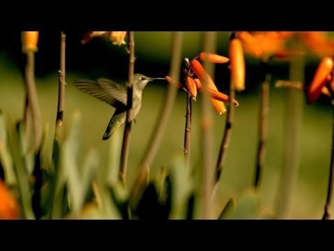 First-Ever Super-Slow-Motion Video Of Hummingbirds Hovering