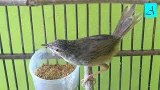 Terbukti ampuh!!!! Masteran Burung Prenjak Gunung istimewa bikin gacor ngeplong!!!