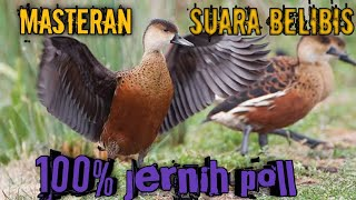 Download Mp3 Masteran Suara Pemanggil Belibis/ 100% Jernih Poll