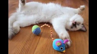 Голубоглазые кошки породы рэгдолл /Blue-eyed cats ragdoll breed