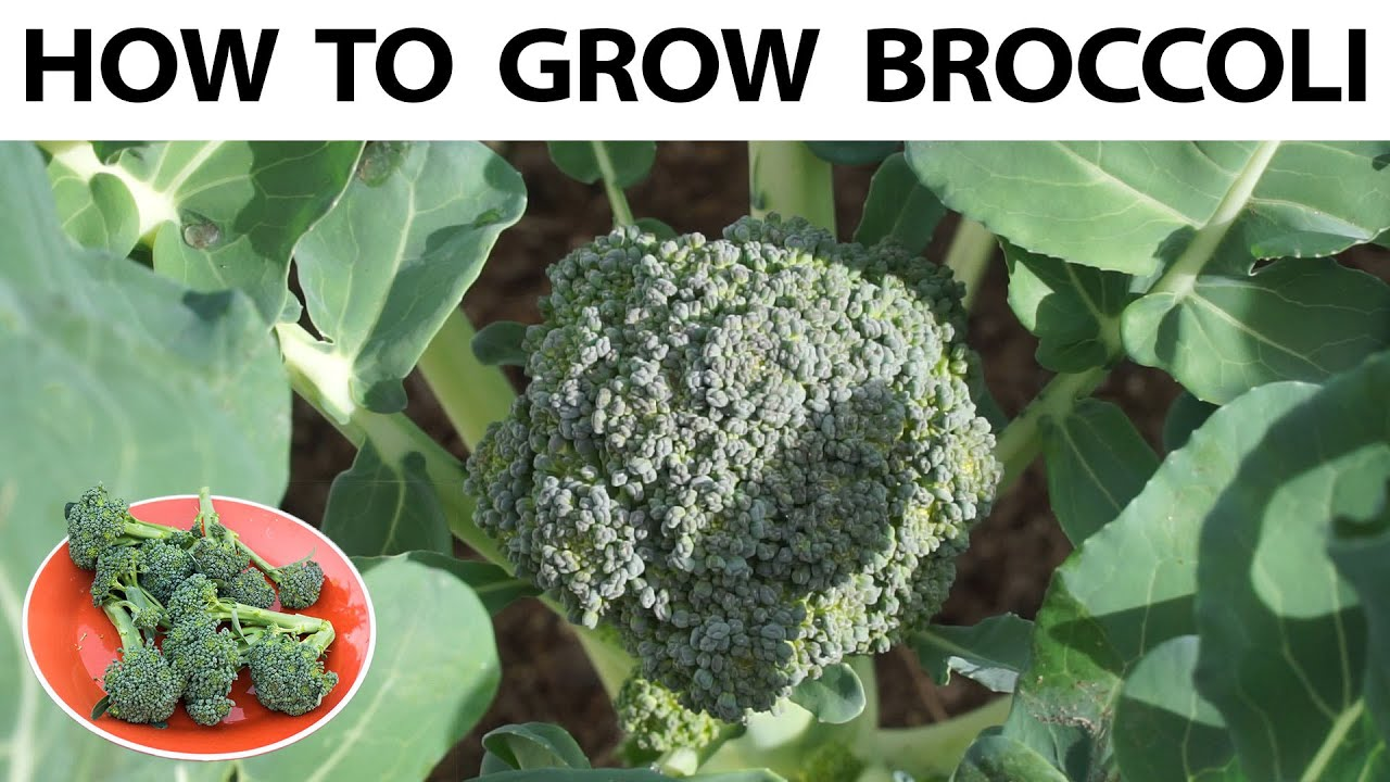 Grow Broccoli From Seed To Harvest