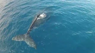 Humpback whales off maui Hawaii south shore filmed by DJI drone.