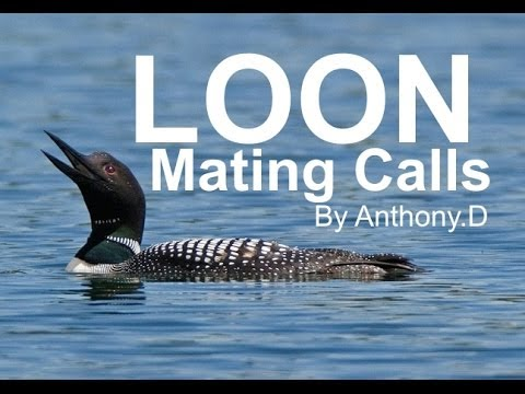 LOON SOUNDS, The Call of The Common Loon