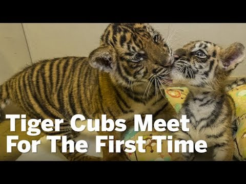 Tiger Cubs Meet For The First Time | San Diego Union-Tribune