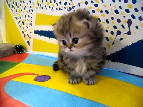 Cute Persian kittens: the 'I' Litter 1 of ? - 7.10.11