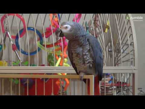 Hilarious parrot lets owner know it's shower time