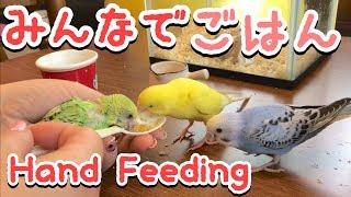 我が家のセキセイインコ雛ピースの挿し餌の様子です♪みんなで仲良くお食...