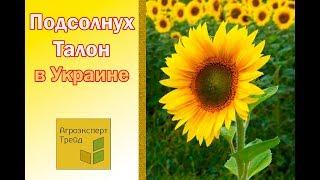 Подсолнух Талон в Украине