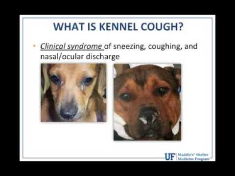Kennel Cough Symptoms And Treatment Funnycat Tv