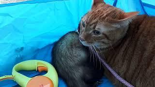 散歩に行って、怖がる猫に遊ぼうとねだるフェレット。噛まれても動こう...