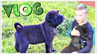ВЛОГ ЩЕНОК ШАРПЕЙ SHAR PEI Puppies + КРОЛИК БЕЛЫЙ ВЕЛИКАН VLOG {My Russian Video(РЕКЛАМА НА КАНАЛЕ ПИСАТЬ СЮДА - https://goo.gl/omQ49c ஜ════════ஜ۩ Семейные КАНАЛЫ ۩ஜ════════ஜ Канал..., 2016-05-24T13:23:16.000Z)