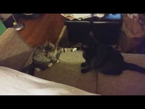 Cats fighting and playing. Monkey v. Stella
