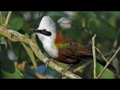 Suara Burung Poksay Sumatra