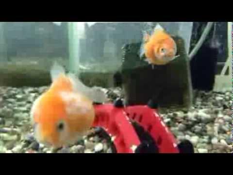 ピンポンパール baby Pearlscale gold fish ping pong pearl - YouTube