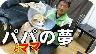 病院に連れて行った秋田犬らんぷちゃんは角膜潰瘍でした。軽傷、早期発...