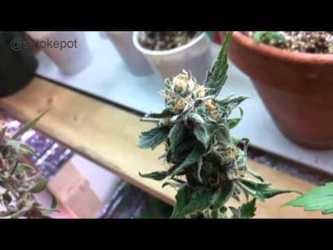 Indoor Grow Room 2013 Juicing Dieseltonic, CBD Rich Cannabis