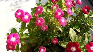How to Grow and Care Vinca / Periwinkle / Sadabahar || Care of Vinca Plant