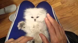 飼い主のまねをする赤ちゃんペルシャ猫が可愛すぎる!