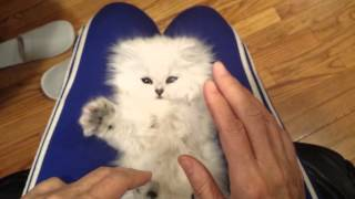 Playful Persian Kitten Loves Their Tickles