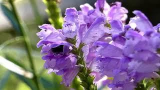 Gametis Flower Chafer on False Dragonhead Flower コアオハナムグリがハナトラノオの花で食事 thumbnail
