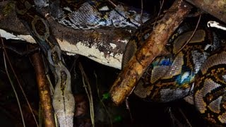 Big 5 Meter Python in Rainforest, Thailand