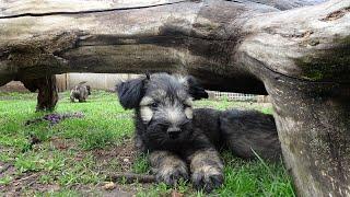 Skye Terrier puppies  born 2021/03/ part IV.