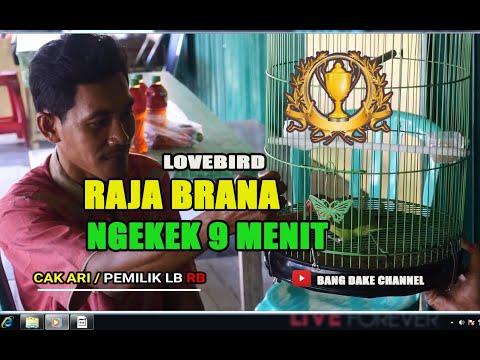 WOW !!! LOVEBIRD RAJA BRANA (RB) NGEKEK 9 MENIT TANPA PUTUS