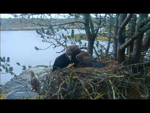 Smola Norway Eagle Cam ~ Elida