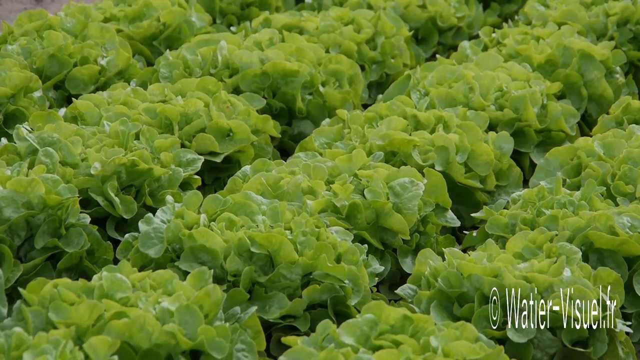 Pr sentation de salades laitues et chicor es de plein champ youtube - Culture haricot vert plein champ ...