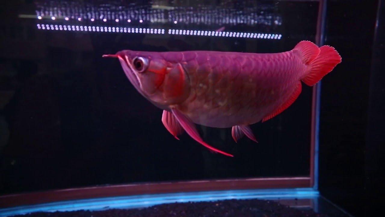 [山水水族]印尼扎哈亞龍魚場SUPA系列-血龍王(28~30CM)15109 - YouTube