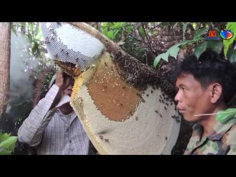 فيديو مدهش نزع العسل من اكبر خلية نحل في العالم