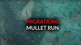 Migrations Part 3: Mullet Run
