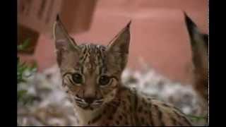 Lince Ibérico - Iberian Lynx - Lynx pardinus