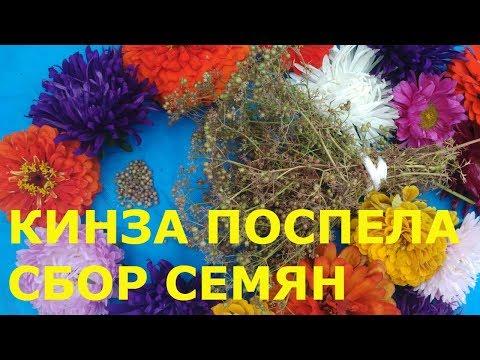 Семена кориандра и их лечебные свойства