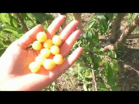 Саженцы Саженцы от производителя Саженцы черешни