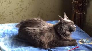 Приступ у кошки мейн кун