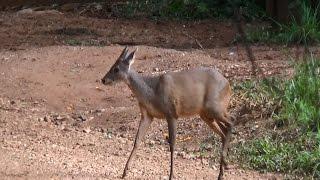 Deer, Mazama americana, Veado-mateiro,