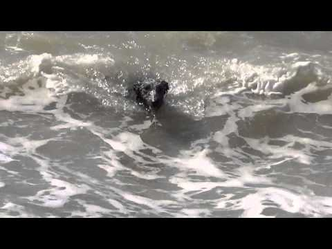 My dog swimming in the sea